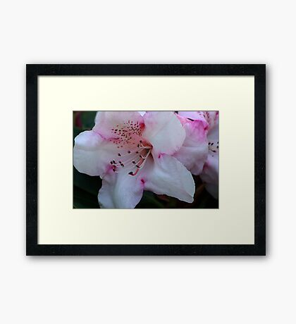 Pink & White Framed Print