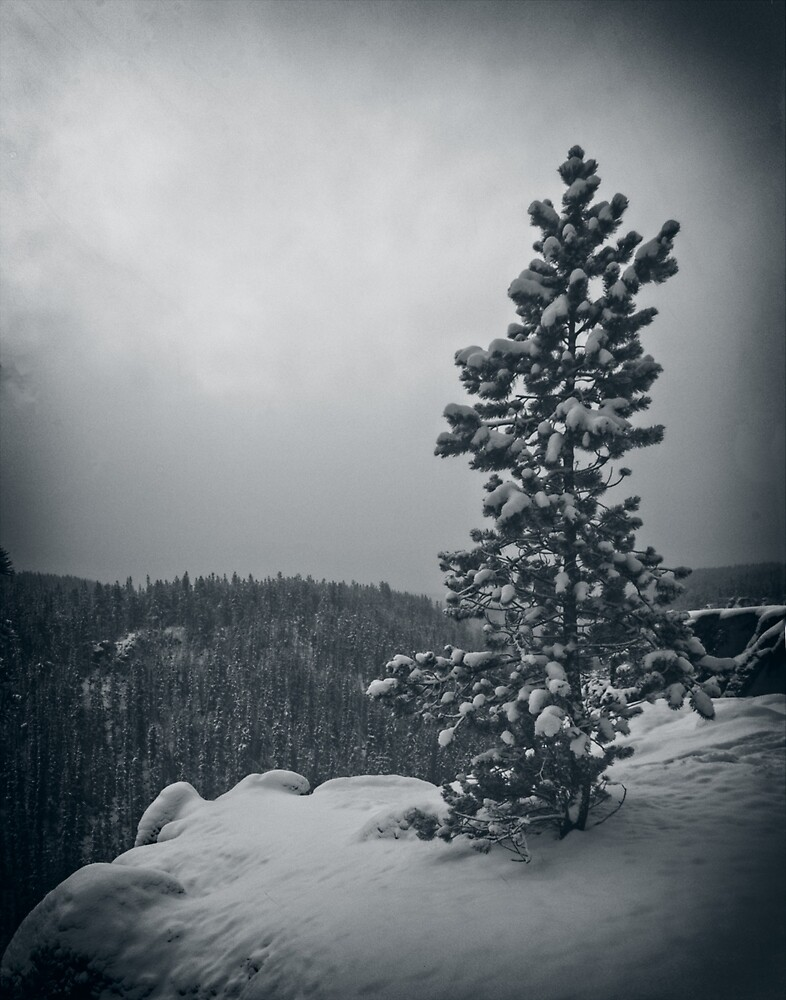 Winter Pine by Yukondick