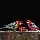 Eastern Rosella with Hybrid Eastern/ Crimson Rosella by Bev Pascoe