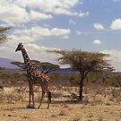 Reticulated Giraffe (Camelopardalis reticulata) by Bev Pascoe