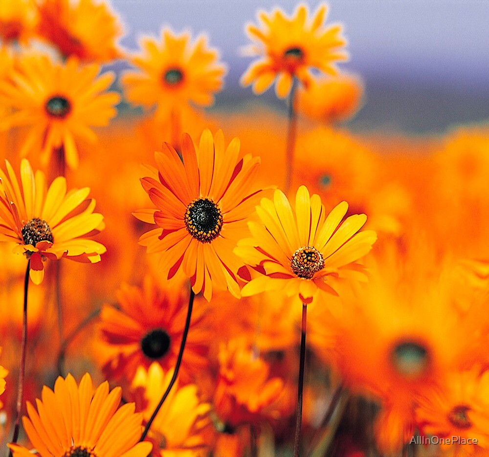 Beautiful Orange Daisys by AllInOnePlace