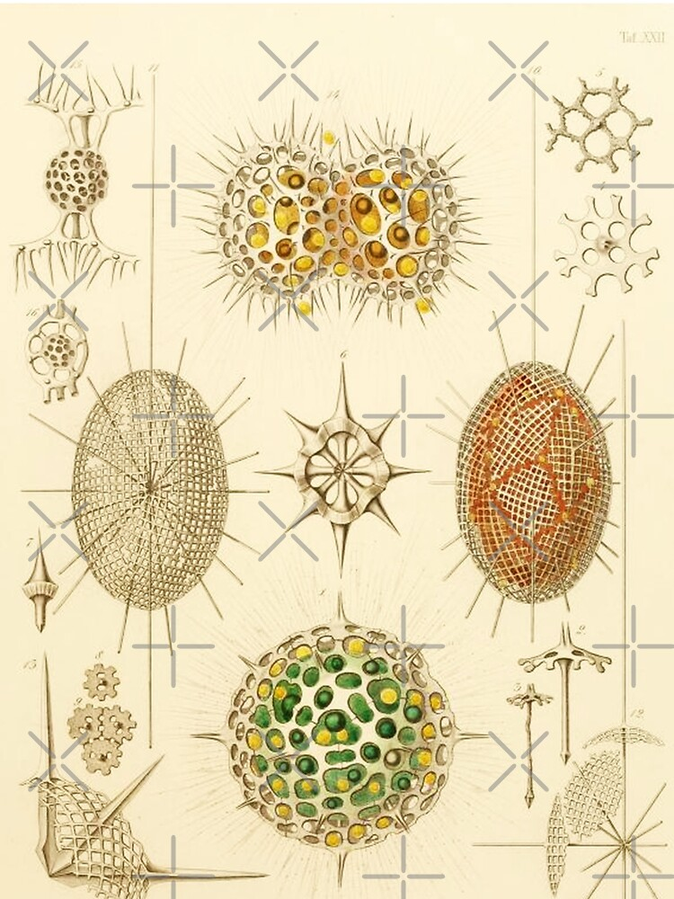 HD Radiolaria (1862) by Ernst Haeckels  (4 of 5 designs) by mindthecherry