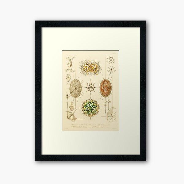 HD Radiolaria (1862) by Ernst Haeckels  (4 of 5 designs) Framed Art Print