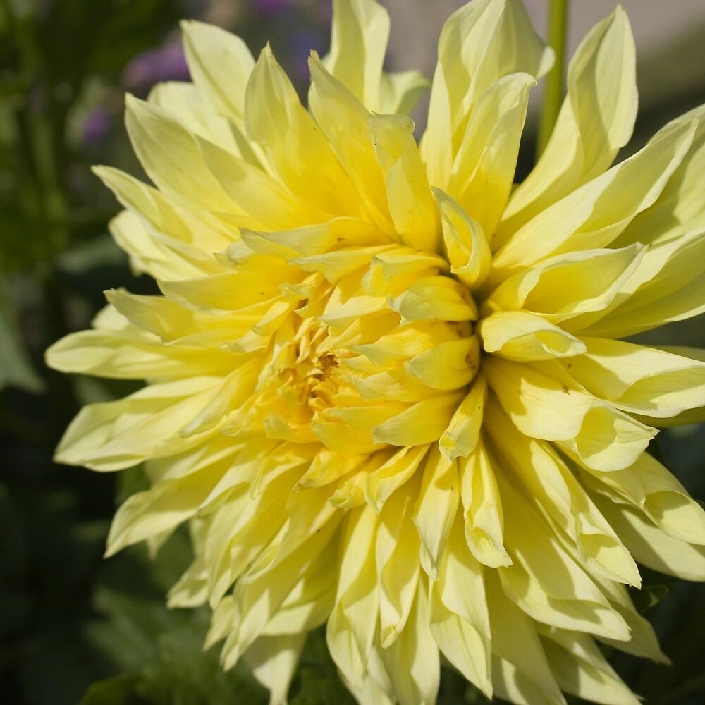 Yellow Dahlia by Lainey1978
