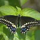 Black Swallowtail by Lisa Putman