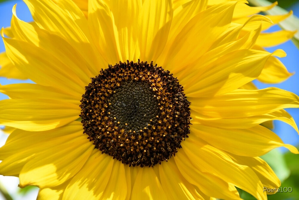Let the Sunflower shine..... by Poete100