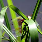 Dragonfly Shadows by tkrosevear