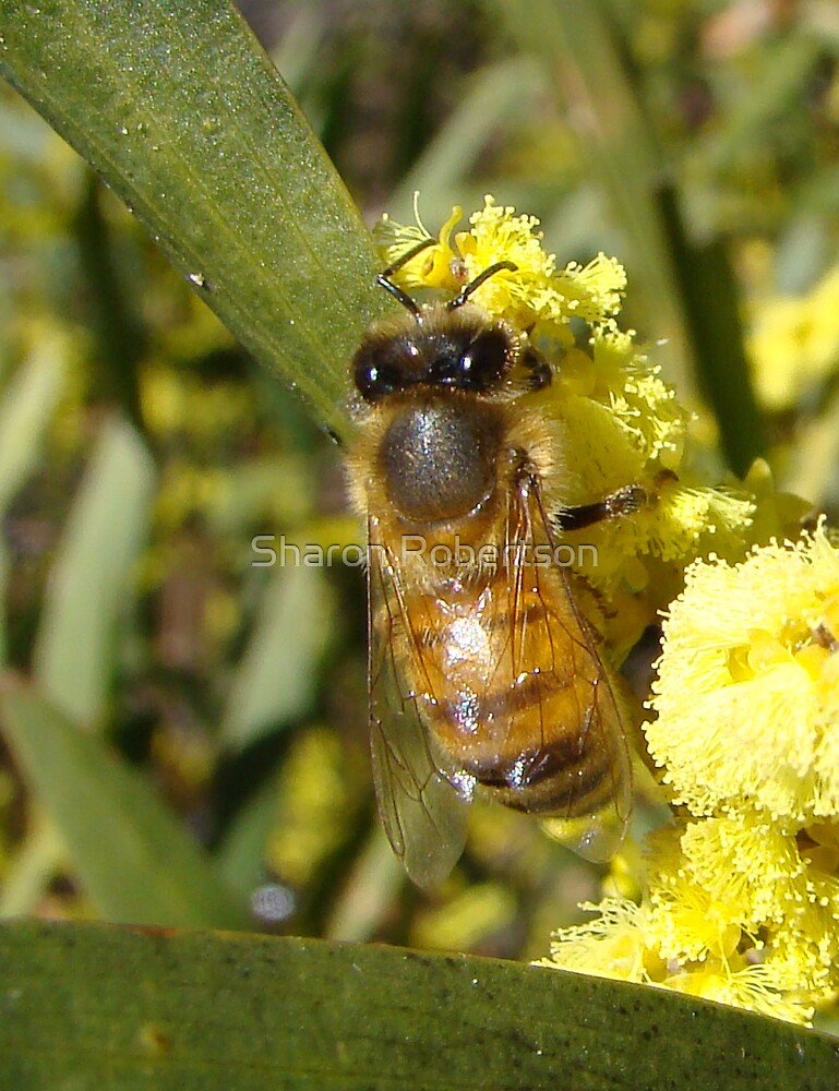 Bee on Wattle by Sharon Robertson