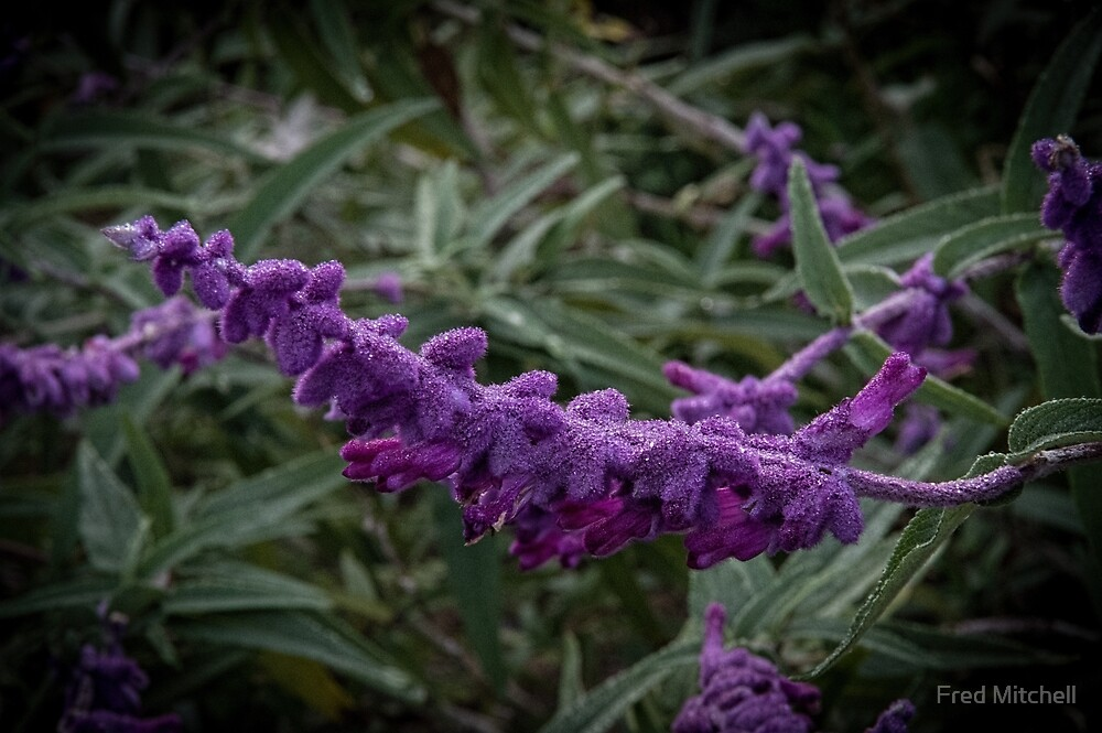 White Dew on purple shrub Leith park Victoria 20170618 0747  by Fred Mitchell