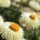 Paper daisies kind of day  by Nina  Matthews Photography