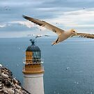 Gannets at Bass Rock Lighthouse by Brian Tarr