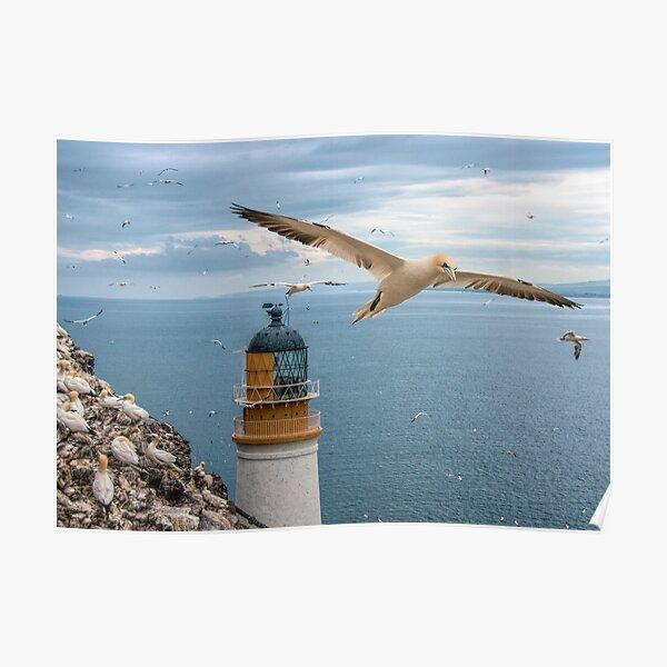 Gannets at Bass Rock Lighthouse Poster