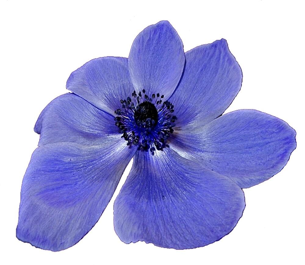 Blue Anemone Flower by HilaryFran