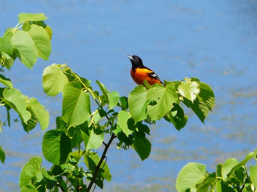 Baltimore Oriole by rjf5