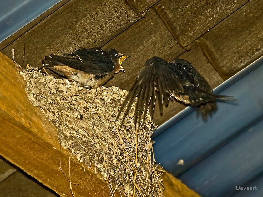 Swallow Feed young by Daveart
