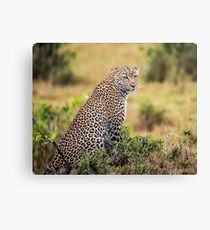 Young male African Leopard Canvas Print