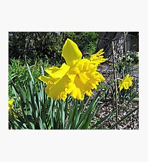 Strong & Vibrant Yellow Daffodils, 'Arilka', Mount Pleasant. Photographic Print