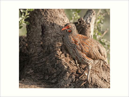 Grey breasted spurfowl by Angela Devaney