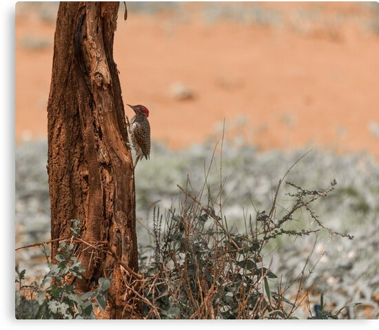 Nubian woodpecker by Angela Devaney