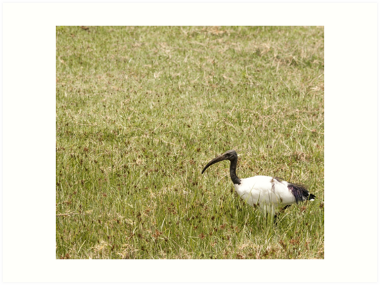 Sacred Ibis by Angela Devaney
