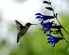 Hummingbird 8 by G. David Chafin