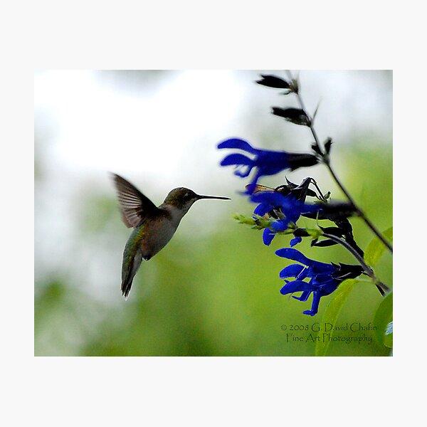Hummingbird 8 Photographic Print