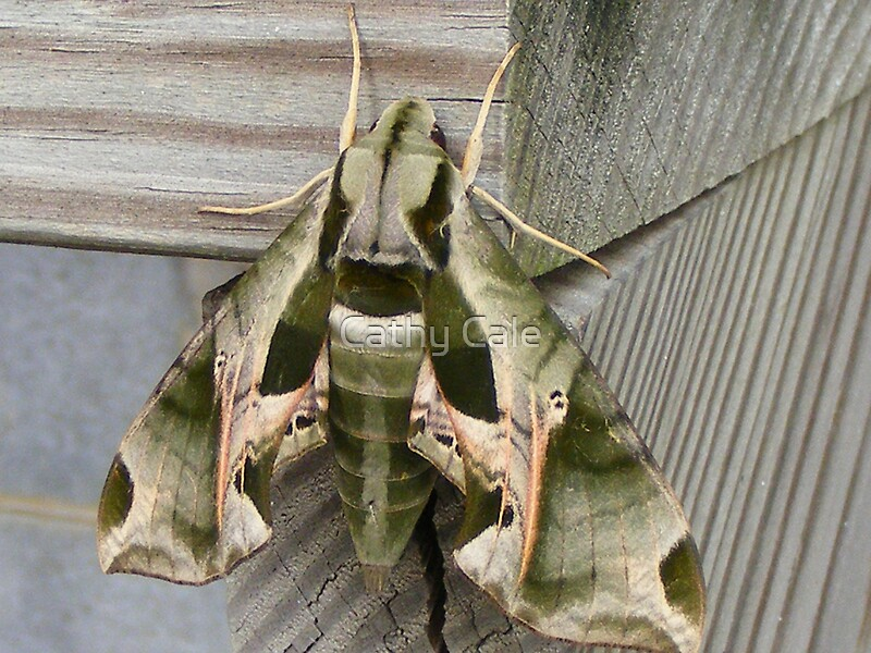 Quot Camo Moth Quot By Cathy Cale Redbubble