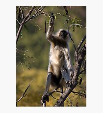 Langur Monkey II Photographic Print