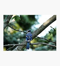 Singing The Blues - Blue Jay Photographic Print