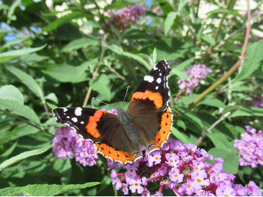Red Admiral on buddleia by tomylees