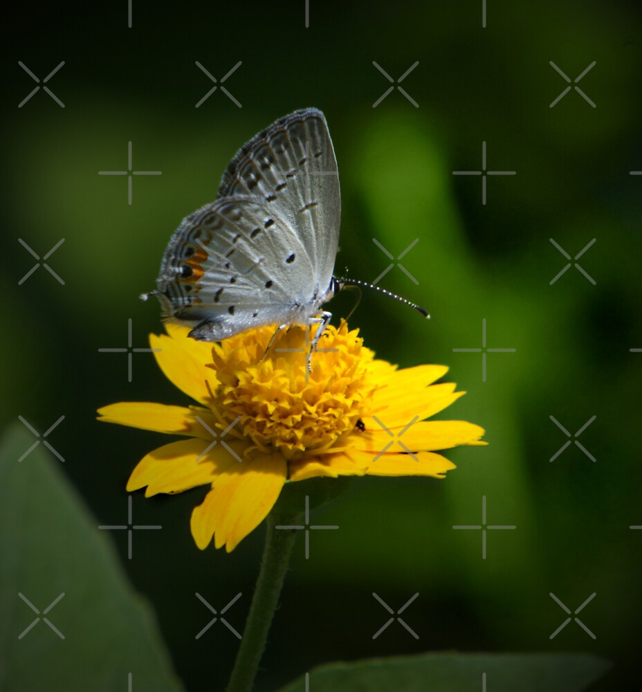 Gray Hairstreak by Lisa G. Putman