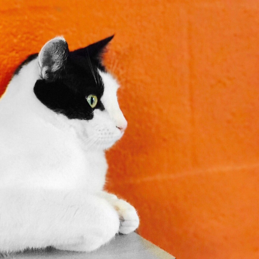 Black and White Cat Against Orange Wall by GoldenWolfie