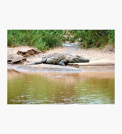 THE NILE CROCODILE - Crocodylus niloticus Photographic Print