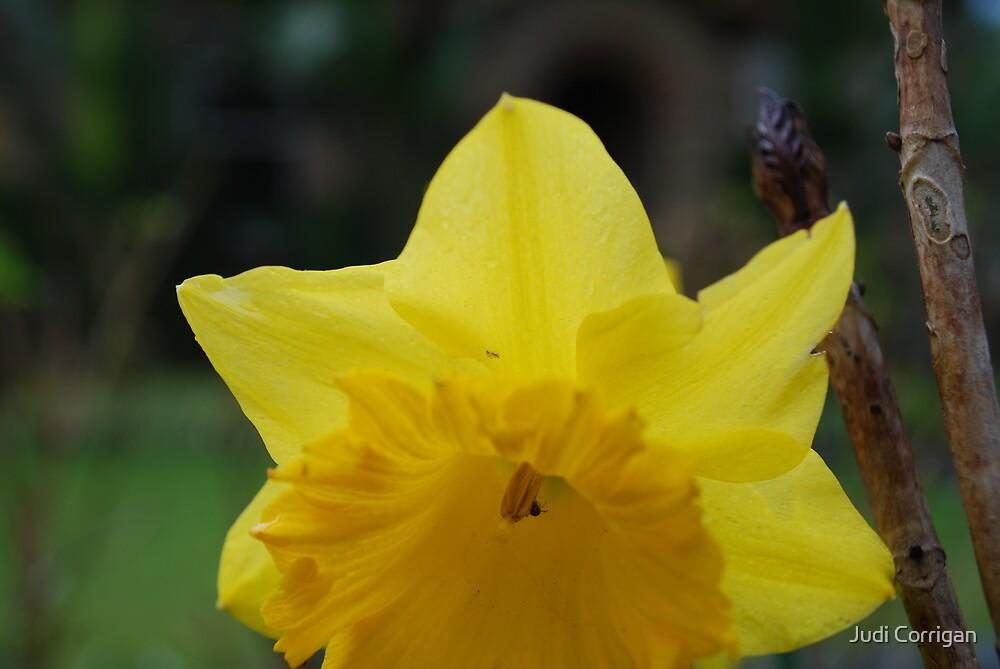 yellow daffodil macro by Judi Corrigan