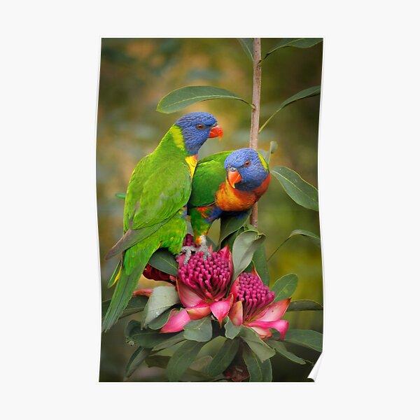 Rainbow Lorikeets & Waratah Poster