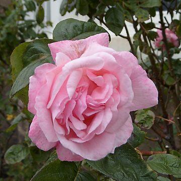 Pretty in Pink by hilarydougill