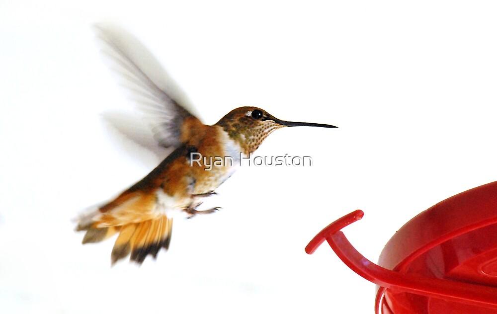 Female Rufous Hummingbird by Ryan Houston