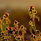 Thistles wide open.. by TonyLegg