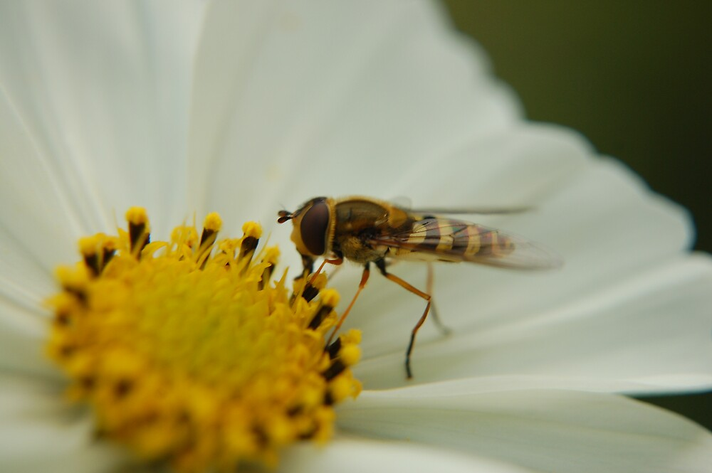 Hover fly  by WhartonWizard
