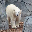 Polar Bear by AnnDixon