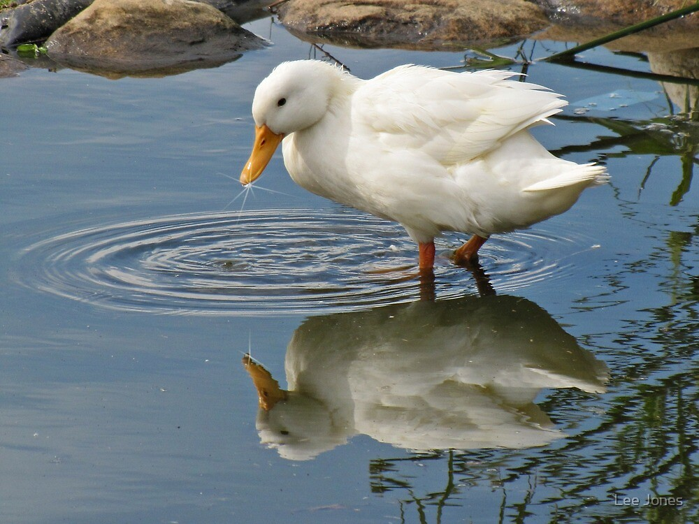 Duck reflecting in the duckpond by Lee Jones