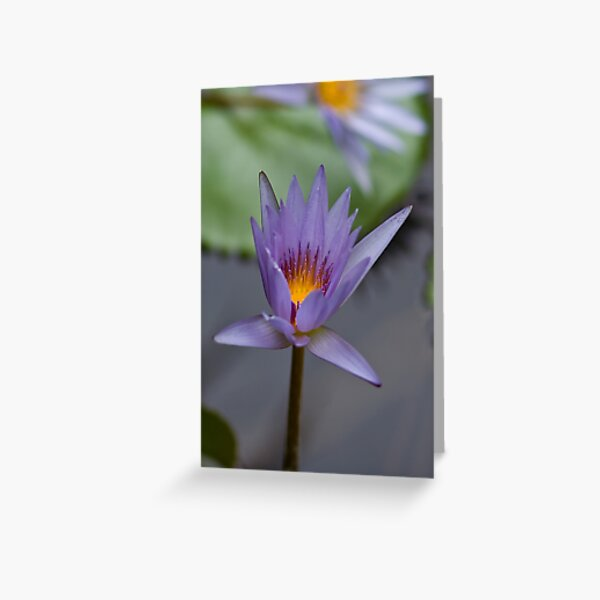 Lavender Lily Greeting Card