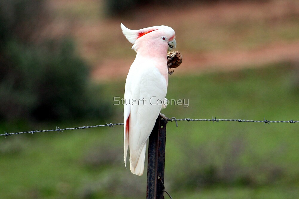 Major Mitchell's Cockatoo by Stuart Cooney