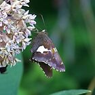 Silver Spotted Skipper by James Brotherton