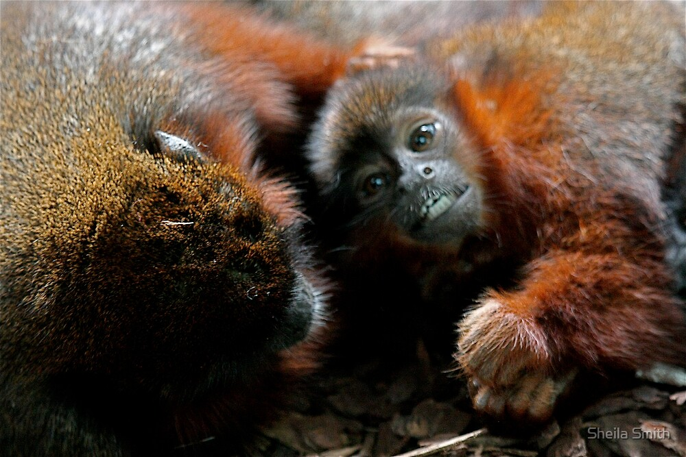 Red Titi Monkey and Youngster by Sheila Smith