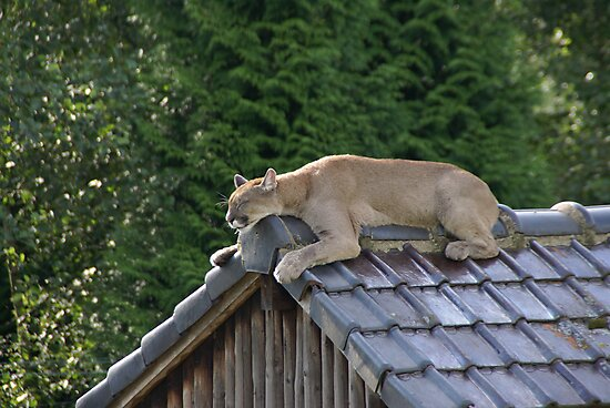 Cougar doing a kitty-sleep by Glitter