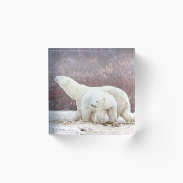 Polar bear mom sniffs the air Acrylic Block