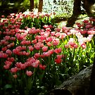 tulips by alistair mcbride