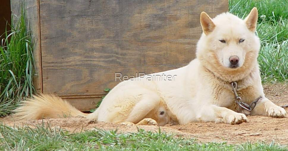The Great WHITE....Husky....not Shark by RealPainter