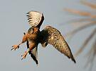 Common Kestrel by David Clark